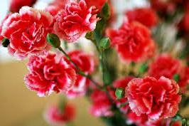 Red Rose Carnations