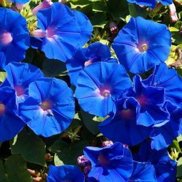 Blue Petunnia