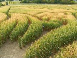 corn-mazes