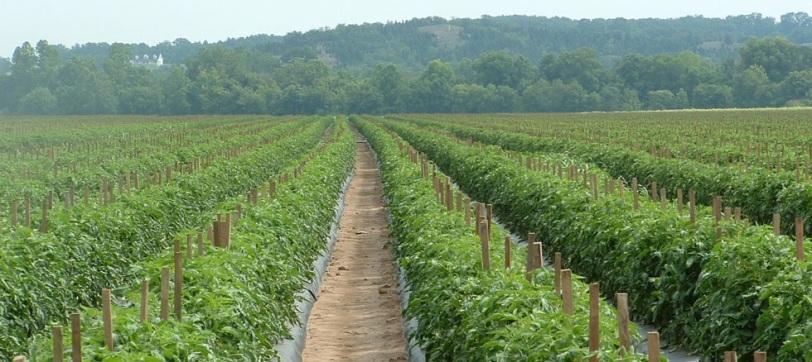 tomatoes-farm01